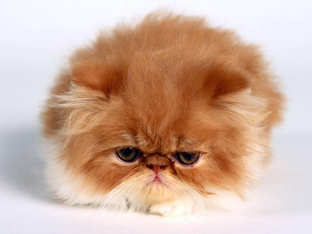 Vanessa Persian Baby Cat