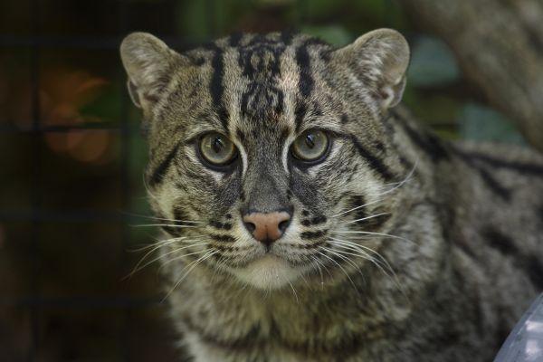 Scary cat khonsa01 blog for The fishing cat
